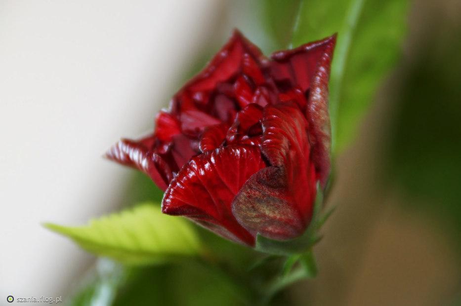 Róża chińska 🌺