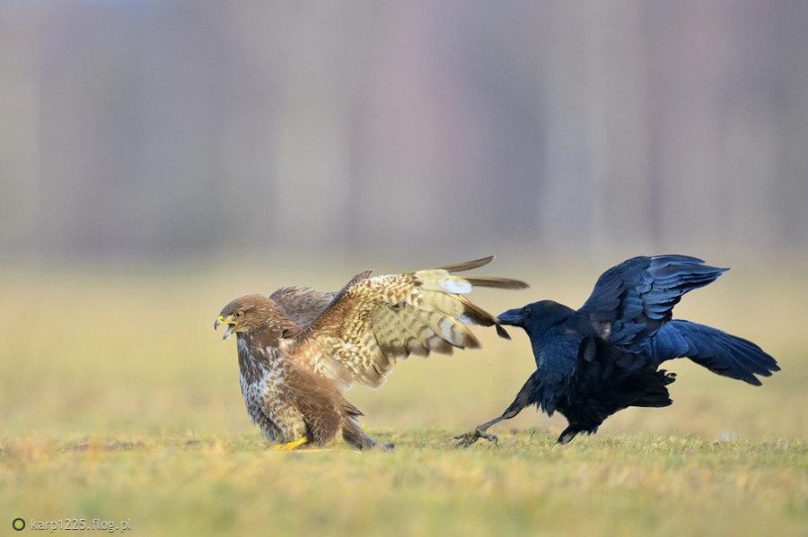 Kruk vs myszak