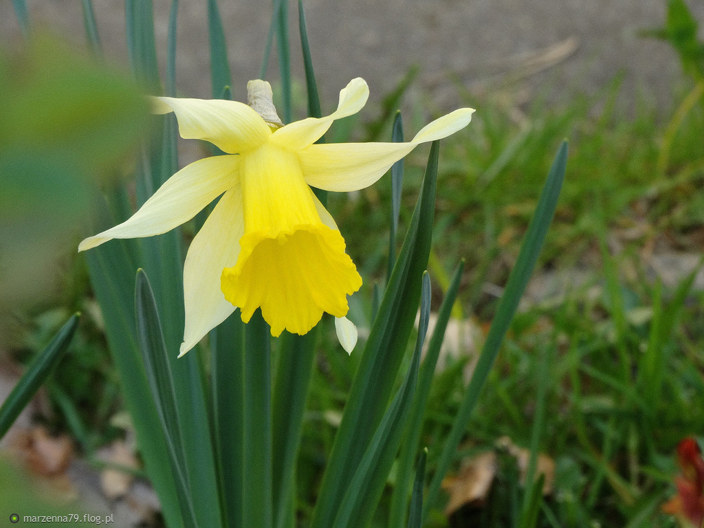 Pierwszy żonkil zakwitł w moim ogrodzie... ❀