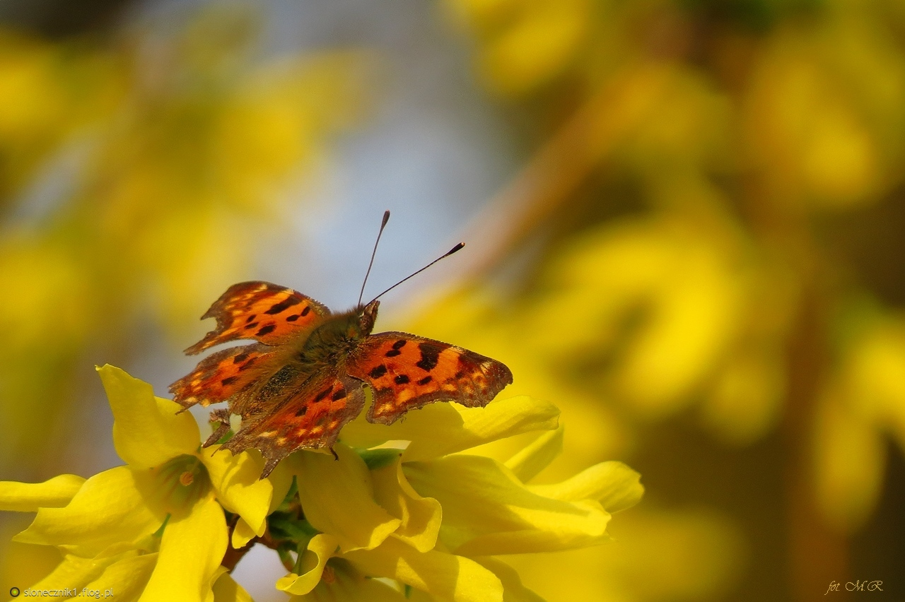 Wiosenna radość - rusałka ceik