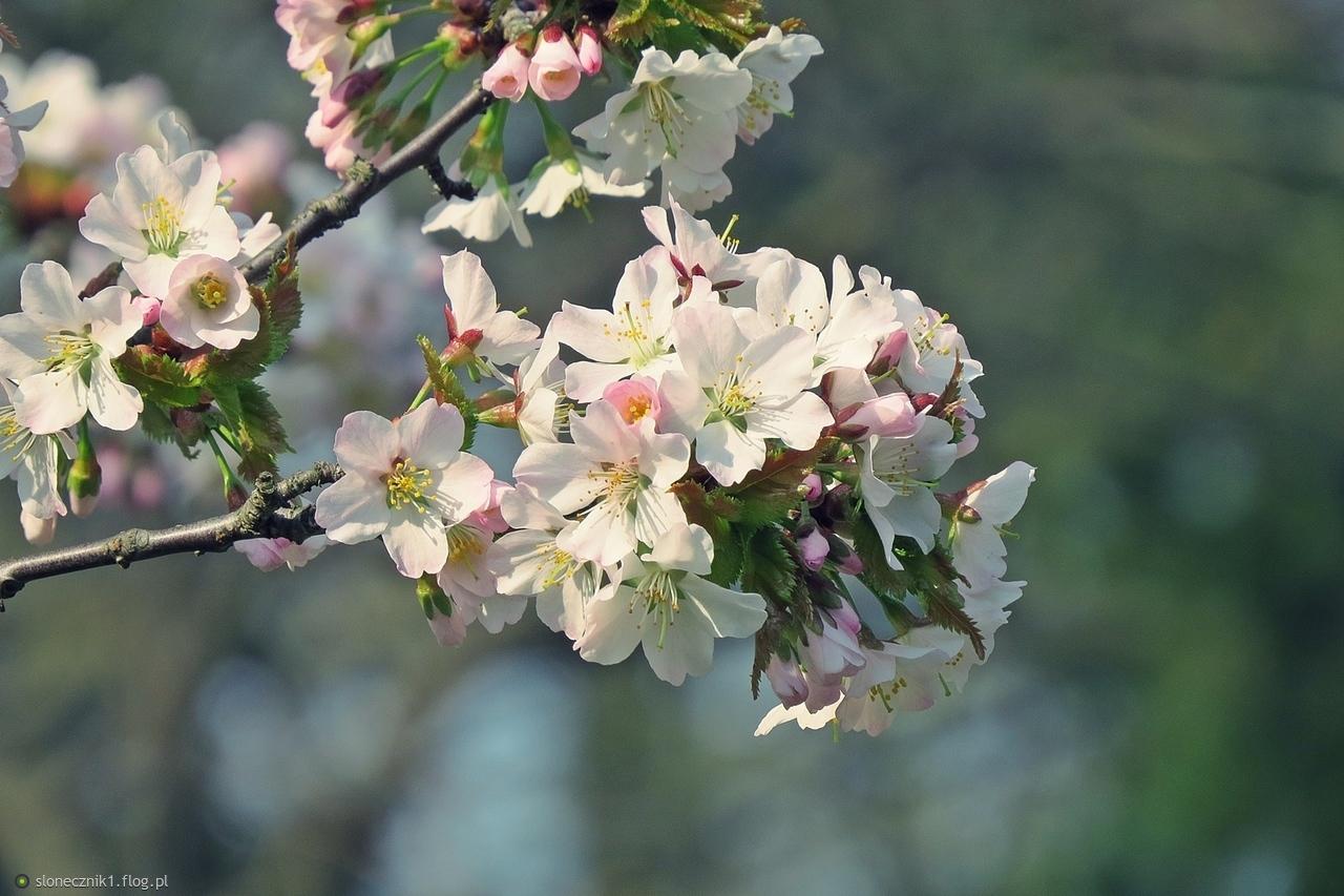 Wiosna kwiaty rozdaje  ... za lanckorońskie okienka kwiat wiśni dla Ciebie :)