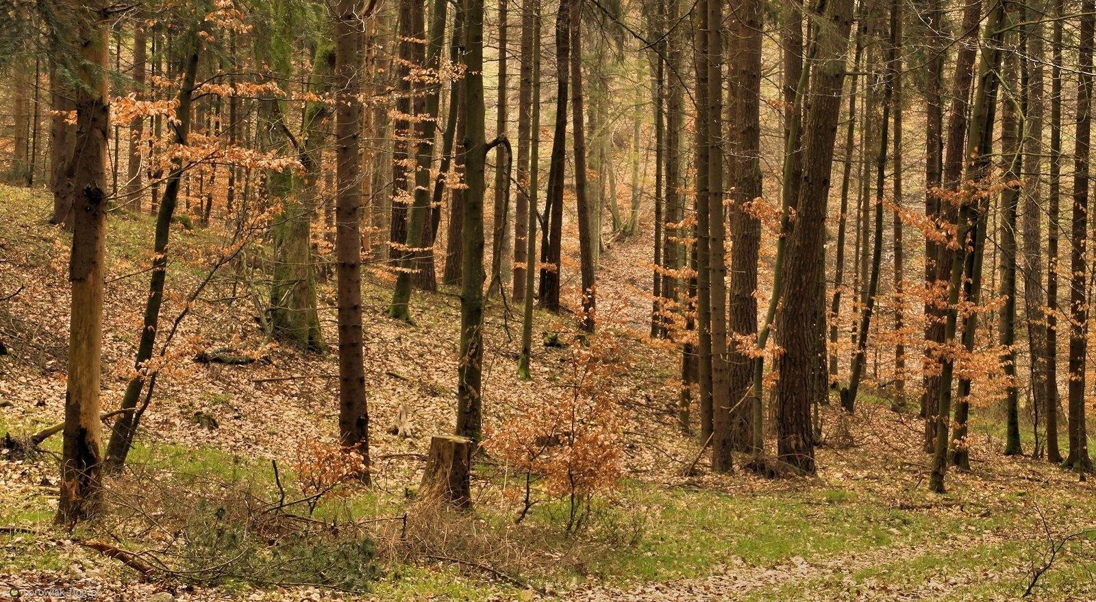 Jakoś jesiennie wygląda wiosna w Puszczy Darżlubskiej...