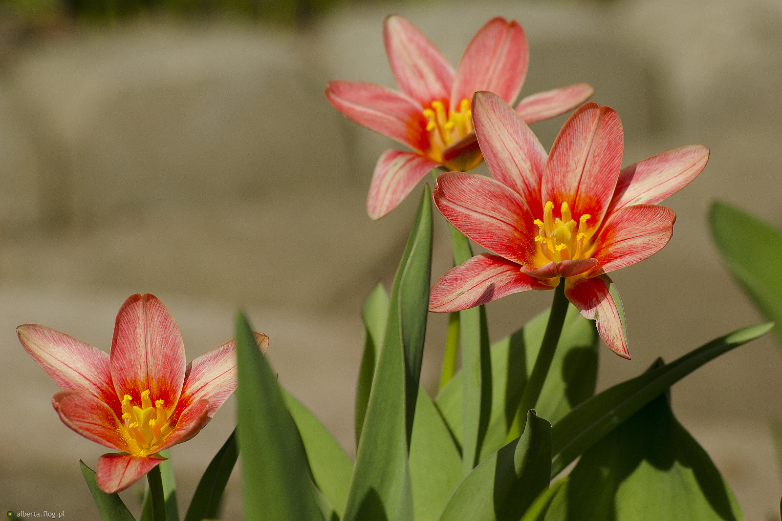 Tulipanowe miniaturki z podziękowaniewm za dedykację! Serdecznie pozdrawiam:)
