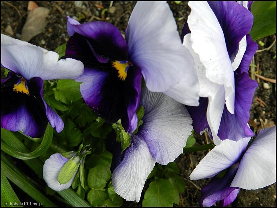 Kwiatki z mojej rabatki...