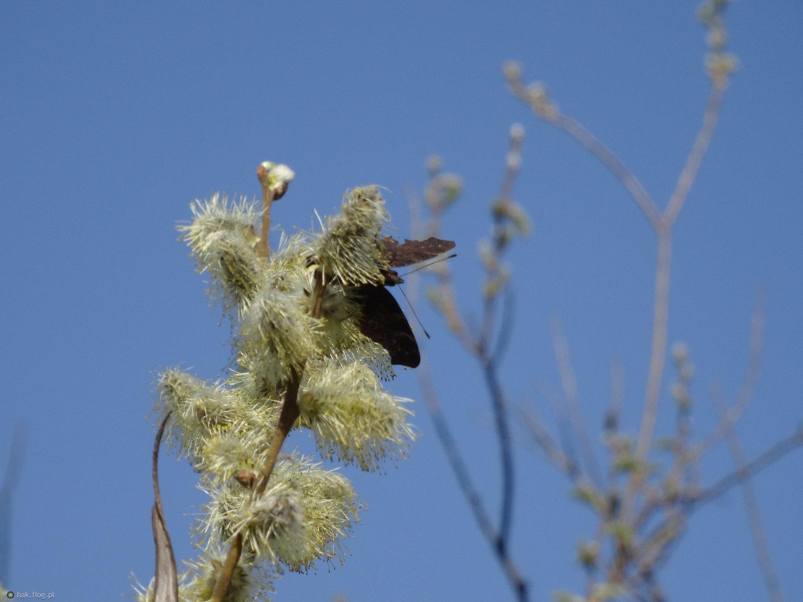 Jak wiosna, to bazie i motylki.