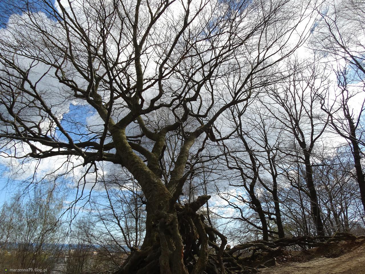 Gdynia - Drzewa bukowe na Grabówku, które nie poddają się, wciąż je widzę w tym samym stanie od prawie 60 lat...🍁