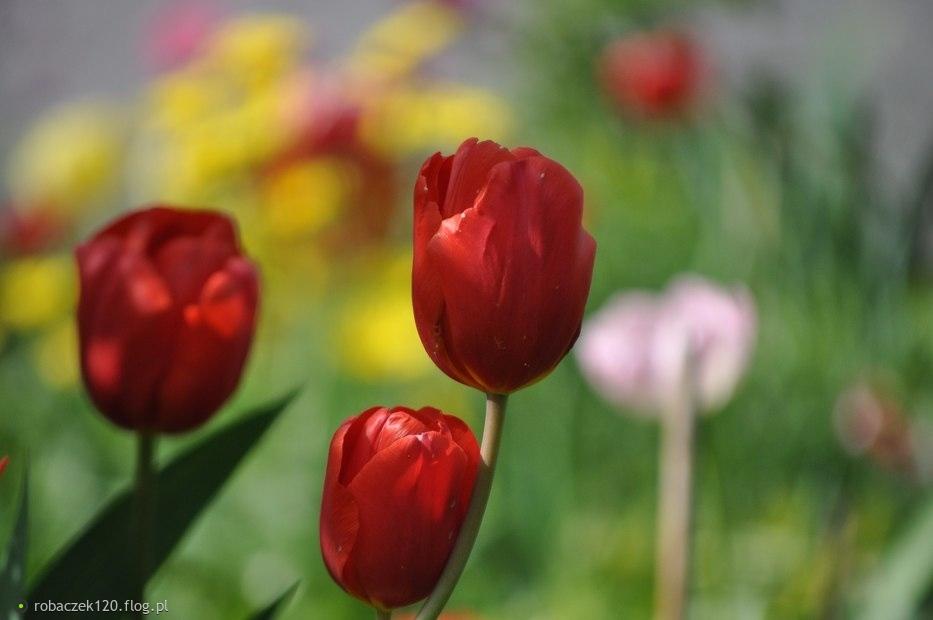 Tulipan, tulipan, tulipan...Niech mnie częściej tuli pan...
