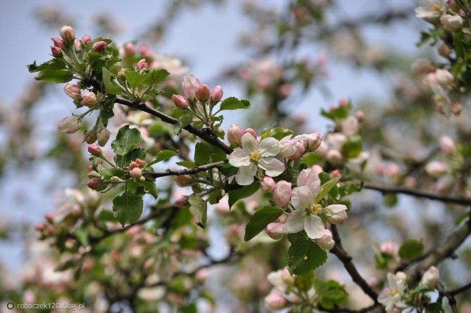 Gdy wiosna kwitnie gałązką jabłoni...