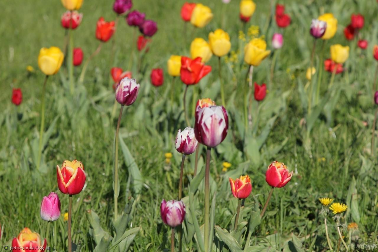 🌷🌷🌷Wielkomiejskie tulipany..... 😀