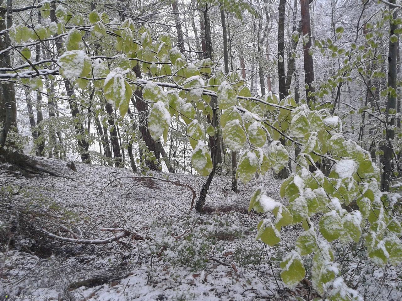 GDYNIA ✽ Majowy powrót zimy - dzisiejszy spacer w lesie ✽ - zdjęcia z telefonu