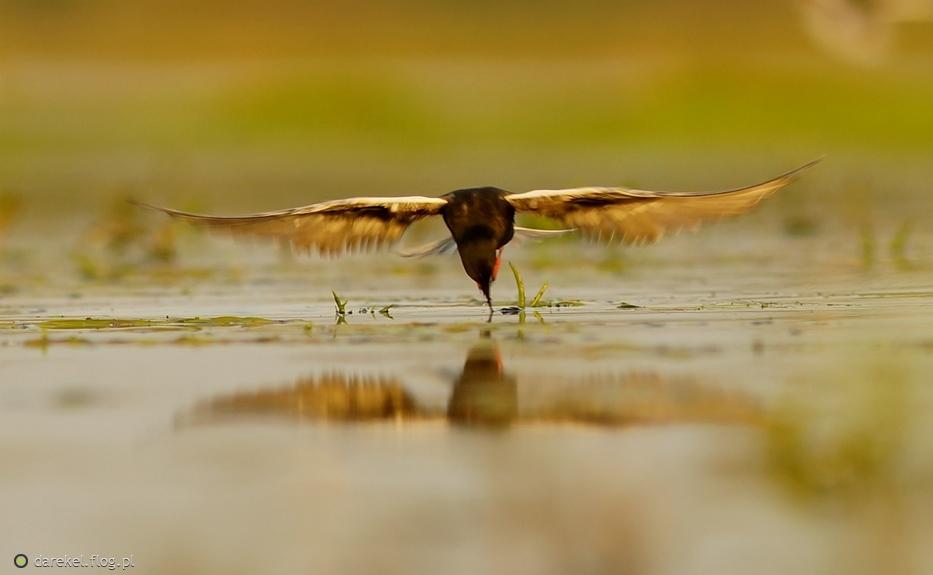 Specjalnie dla Ciebie rybitwa białoskrzydła :)