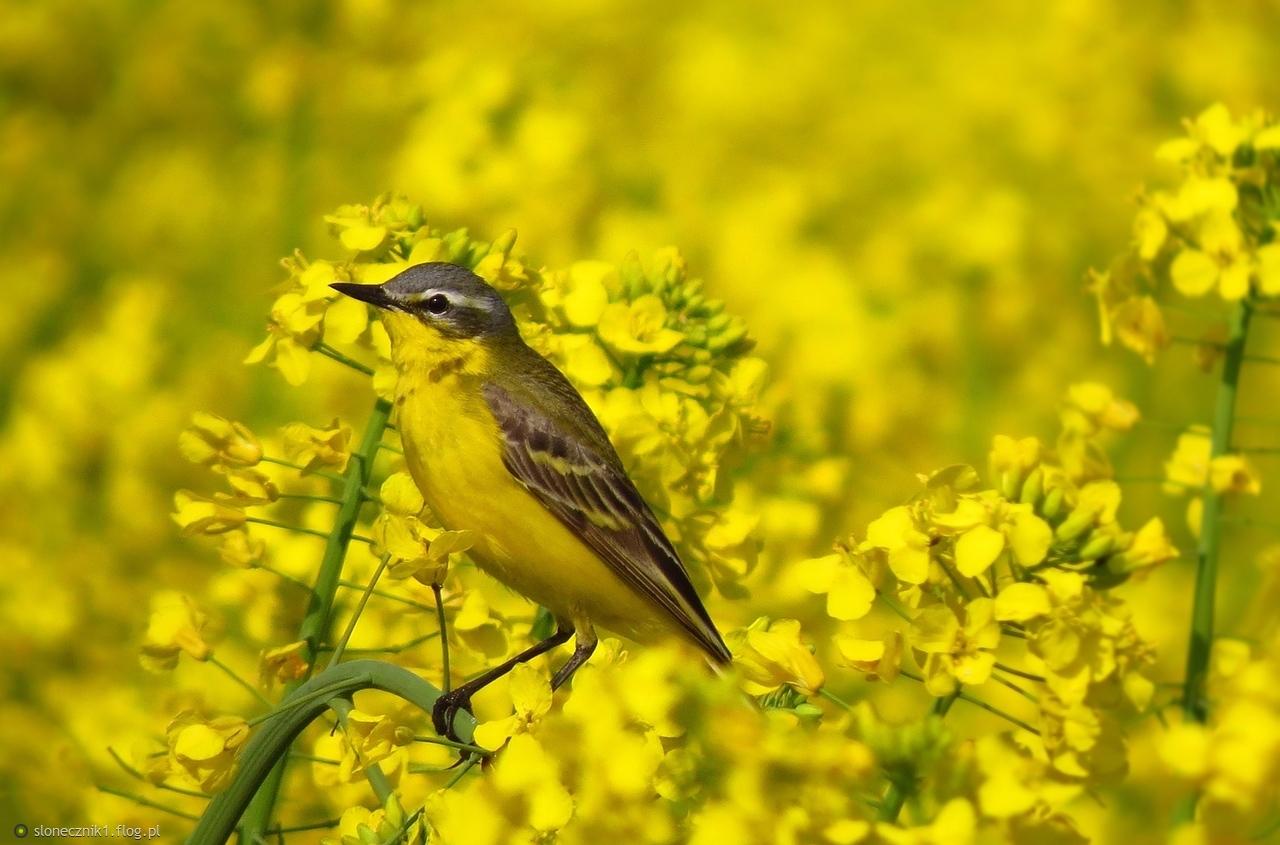 kolory maja - żółty ...