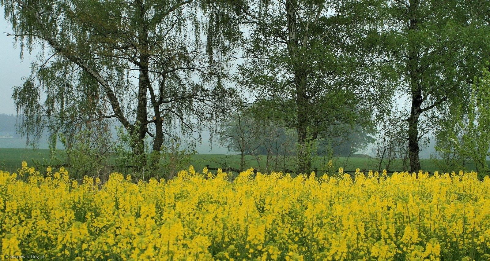 Żółto, zielono, siwo i mgliście...