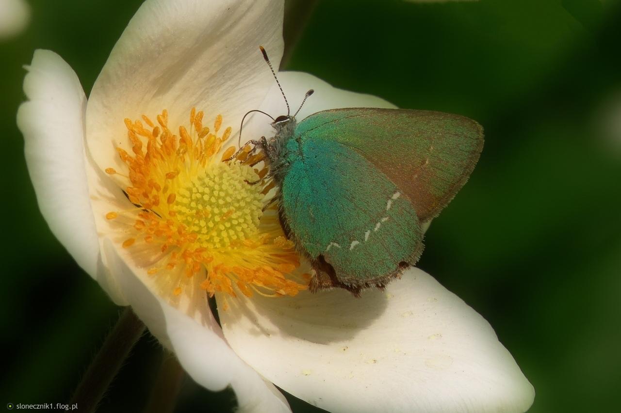 Zieleńczyk ostrężyniec  z krótką wizytą w ogródku :)  a ja ostatnio trochę jak ten motyl ... na krótko tu wpadam :(