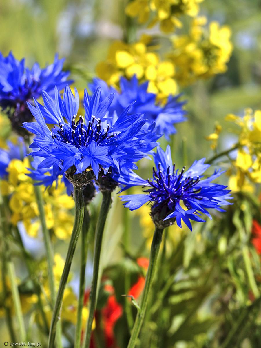 chabry- niebieska  piękność