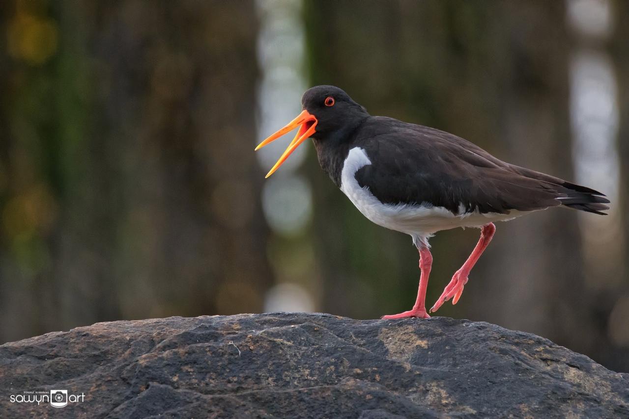 Ostrygojad -niezwykle hałaśliwe stworzenie