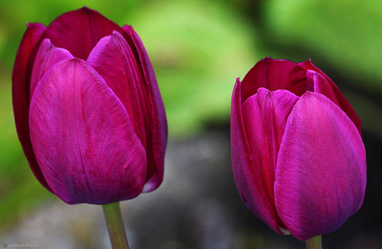 Moje tulipanki dla Ciebie na powitanie