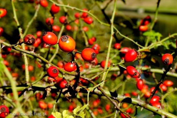 http://s22.flog.pl/media/foto_middle/11753471_hibiskus-jagody-gotowe-do-jesiennego-zbioru-na-susz-owocowy.jpg