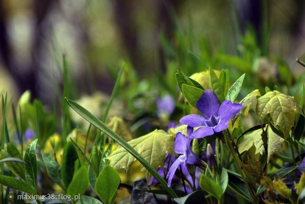 http://s22.flog.pl/media/foto_middle/11857799_cyjant-drobnolistny---cyananthus-microphyllus-syn-clinofolius-cnepalensis.jpg