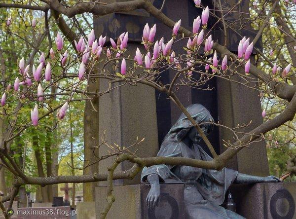 http://s22.flog.pl/media/foto_middle/11859777_kwiaty-magnoli--w-jednej-z-kultur-dalekowschodnich-uwazane--za-symbol-czystosci-i-szczerosci.jpg