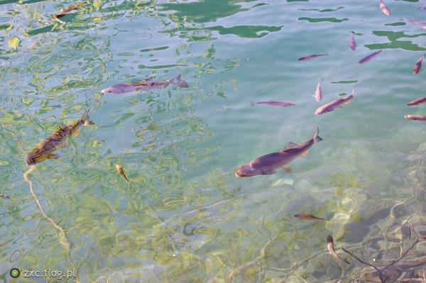 http://s22.flog.pl/media/foto_middle/11922182_chorwacja-park-narodowy-jezior-plitwickich-ryby-cz3.jpg