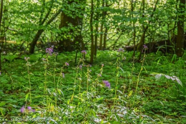 http://s22.flog.pl/media/foto_middle/11923076_sprawy--kwiatki-w-lesie-kadynskim.jpg