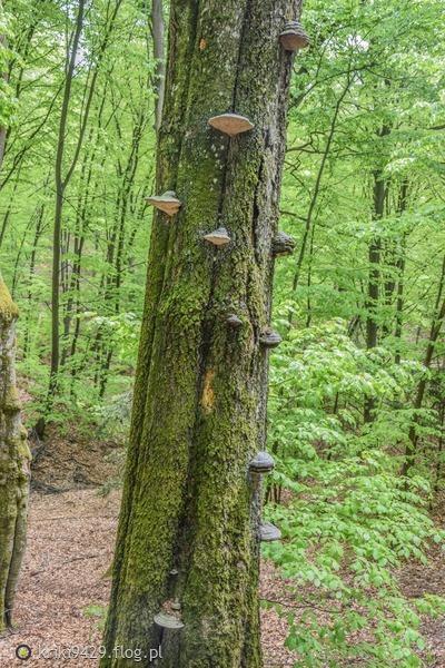 http://s22.flog.pl/media/foto_middle/11926967_wspinamy-sie--drzewo-porosniete-hubami--las-kadynski.jpg