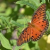 Motylek nieznany / Hanna <br />podala jego nazwe to: Gul<br />f Fritillary ( Agraulis v<br />anilae )