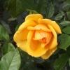 Żółte róże podaruj, by ro<br />zjaśnić czyjś dzień, pogr<br />atulować sukcesu, pociesz<br />yć, wyrazić sympatię . Są<br /> urocze .