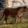 Elza z afrykańskiego busz<br />u :: Lew afrykański[4], lew[5]<br /> (Panthera leo) &amp;ndas<br />h; mięsożerny gatunek ssa<br />ka lądowego z rodziny