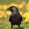 Western Jackdaw, Kawka z<br />wyczajna (Corvus monedula<br />) - Photographer London, <br />www.moonflash.eu