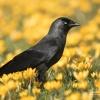 Western Jackdaw, Kawka zw<br />yczajna (Corvus monedula)<br /> - Photographer London, w<br />ww.moonflash.eu