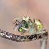 Creboter gemmatus przy ko<br />lacji...