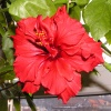 Hibiscus Kyoto