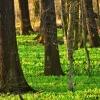 Coraz bardziej zielono:))<br />)Dzisiaj w rezerwacie prz<br />yrody juz czuć było inten<br />sywny zapach czosnku,jesz<br />cze chwilke i zakwitnie c<br />zosnek niedzwiedzi:))