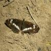 Limenitis camilla - pokło<br />nnik kamila - on, 23.07.2<br />016, Okolice Wysokiego Wi<br />erchu, Pieniny, Polska.  :: Nymphalidae - Limenitidin<br />ae - Limenitidini - Limen<br />itis. Limenitis camilla (<br />pokłonnik kamila) jest r