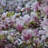 ::                          <br />                         <br />         Magnolia swe pię<br />kno wokół roztacza ...