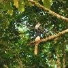 Dzioborożec białobrzuchy. :: Dzioborożec białobrzuchy <br />to duży i piękny ptak,cię<br />żko go było zobaczyć z ło<br />dzi w koronach w