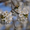 Gałązka wiosenna... ::