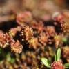 Rozchodnik sześciorzędowy (Sedum sexangulare)  :: Rozchodnik sześciorzędowy (Sedum sexangulare) – gatunek rośliny należący do rodziny grubos
