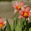 Tulipanowe miniaturki z p<br />odziękowaniewm za dedykac<br />ję! Serdecznie pozdrawiam<br />:) :: Słoneczko nasze dzisiaj g<br />ości na Wybrzeżu! Wieje z<br />imny wiatr(4 st.w cieniu)<br /> ,ale  za to mamy wios