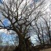 Gdynia - Drzewa bukowe na<br /> Grabówku, które nie podd<br />ają się, wciąż je widzę w<br /> tym samym stanie od praw<br />ie 60 lat...🍁