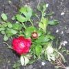 Ranunculus mruga oczkiem