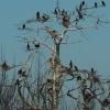 Świnoujskie kormorany.