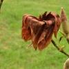 Mróz zrobił swoje...kwiat<br /> magnolii.