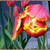 Tulipan gigant...w moim o<br />gródku..