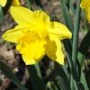 Wiosna na żółto