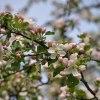 Gdy wiosna kwitnie gałązk<br />ą jabłoni... ::