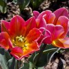 wiosenny tulipan