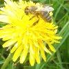 Pszczoła 🐝
